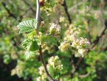 在庭院,无核小葡萄干灌木的分支里开花 库存照片