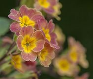 在庭院,春天在伦敦-一些桃红色和黄色花特写镜头  库存图片
