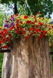 在庭院,红色,紫色和黄色鲜花的五颜六色的喇叭花花在庭院里在一好日子 图库摄影