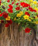 在庭院,红色,紫色和黄色鲜花的五颜六色的喇叭花花在庭院里在一好日子 库存照片