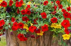 在庭院,红色,紫色和黄色鲜花的五颜六色的喇叭花花在庭院里在一好日子 免版税库存图片