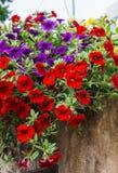 在庭院,红色,紫色和黄色鲜花的五颜六色的喇叭花花在庭院里在一好日子 免版税图库摄影