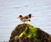 在康涅狄格银海滩的蛎鹬鸟 免版税图库摄影
