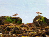 在康涅狄格银海滩的蛎鹬鸟 库存图片