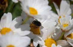在延命菊的特写镜头昆虫 库存照片