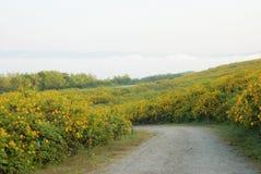 在开垦领域的墨西哥向日葵 免版税库存图片