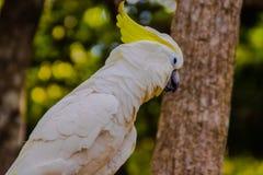 在开放动物园的白色美冠鹦鹉 免版税库存照片