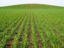 在开放地面上的发芽的麦子 图库摄影