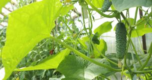 在开放地面增长的年轻新鲜的黄瓜幼木 黄瓜种植园 黄瓜的耕种自温室 股票视频