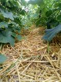 在开放地面的每年植物黄瓜 免版税库存图片