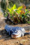 在开放沼泽地的嘴的极大的美国短吻鳄 免版税库存图片