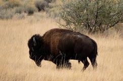 在开放范围的北美野牛 免版税库存图片