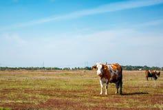 在开放领域的母牛 免版税库存照片
