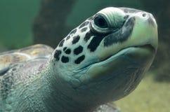 在开放鱼水族馆访问的海龟游泳 一个老乌龟游泳细节 免版税库存图片
