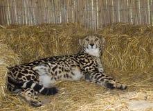 在开普敦、掠食性老虎或者豹子在桌山国家公园 图库摄影