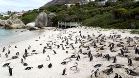 在开普敦半岛的企鹅在南非 免版税库存照片