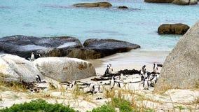 在开普敦半岛的企鹅在南非 库存图片