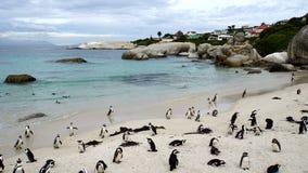 在开普敦半岛的企鹅 免版税库存照片