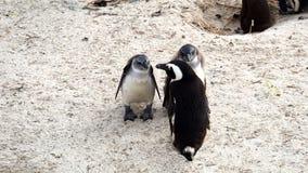 在开普敦半岛的企鹅 免版税库存图片