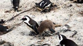 在开普敦半岛的企鹅 库存照片