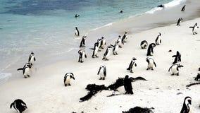在开普敦半岛的企鹅 图库摄影