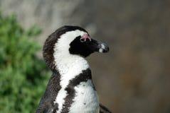在开普敦半岛的唯一企鹅 免版税库存照片