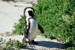 在开普敦半岛的唯一企鹅 免版税图库摄影
