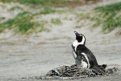 在开普敦半岛的唯一企鹅 库存照片