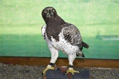 在开普敦,掠食性鸟在桌山国家公园看起来老鹰鸟 免版税库存照片