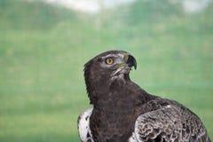 在开普敦,掠食性鸟在桌山国家公园看起来老鹰鸟 免版税库存图片