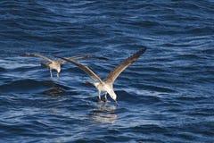 在开普敦,海渔海鸥 免版税库存照片