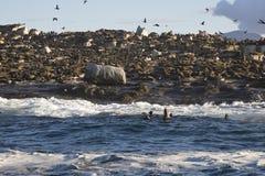在开普敦,鸟飞行狂放在海滩 图库摄影