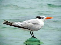 在开曼群岛地区船坞的末端的海洋鸟 免版税库存照片