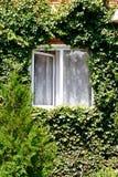 在开窗口附近的绿色常春藤在农村房子里 免版税库存图片