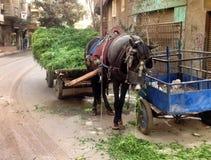 在开罗吃干草的马 图库摄影