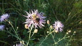 在开花与在明亮的日出光的紫色花的矢车菊厂的蜂 免版税库存图片