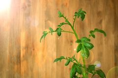在开花前的土豆上面 图库摄影