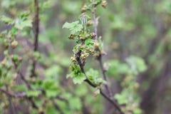 在开花前的无核小葡萄干枝杈 图库摄影