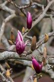 在开花前的木兰芽 免版税库存照片