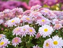 在开花在夏天领域的菊花的接近的看法 背景细部图花卉向量 桃红色延命菊开花 茼莴 图库摄影
