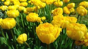 在开花期间,有黄色郁金香的花圃关闭 库存图片