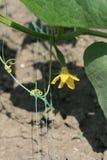 在开花期间的布什黄瓜 库存照片