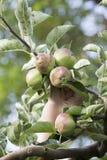 在开花期间,未成熟的绿色苹果在早晨霜之前损坏了 免版税库存照片