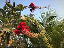 在开花树亚洲的美丽的生动的红色花 免版税库存图片