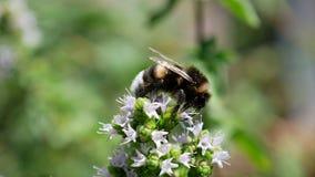在开花植物的一只土蜂 免版税库存照片