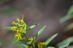 在开花植物的昆虫 免版税库存图片