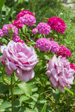 在开花甜威廉背景的桃红色玫瑰,特写镜头 免版税库存照片