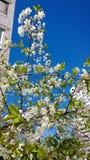 在开花的一棵樱桃树 免版税库存照片