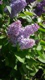 在开花的丁香在春天 免版税库存图片
