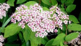 在开花的丁香期间的夏天植物 库存图片